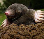 Mole+small